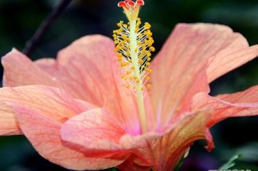 Rosa – Zartfarbene Hibiskusblüte