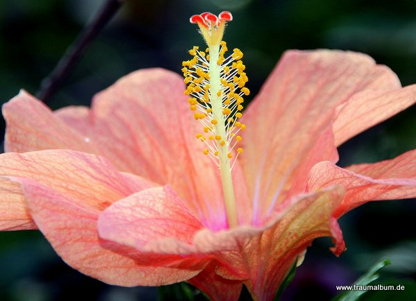 Rosa Hibiskusblüte