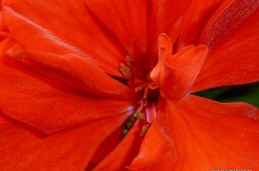 Rote Geranien – Farbrausch im Balkonkasten