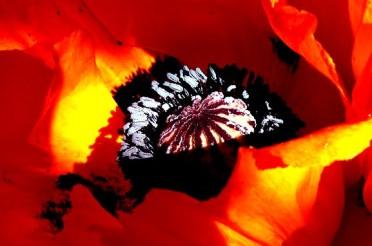 Roter Mohn – Gigantisches Farbenspiel im Garten