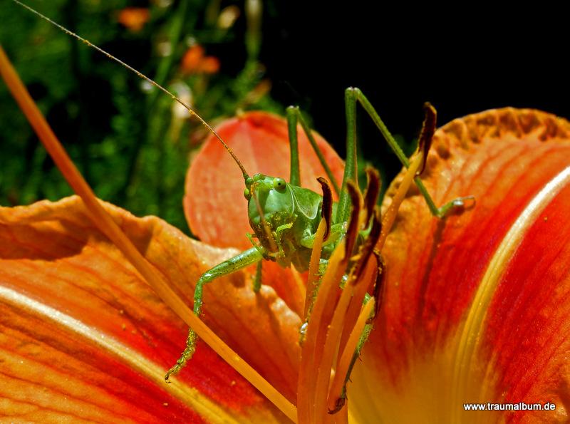 Heuschrecke auf einer Taglilie – mein Beitrag zum Thema Tiere