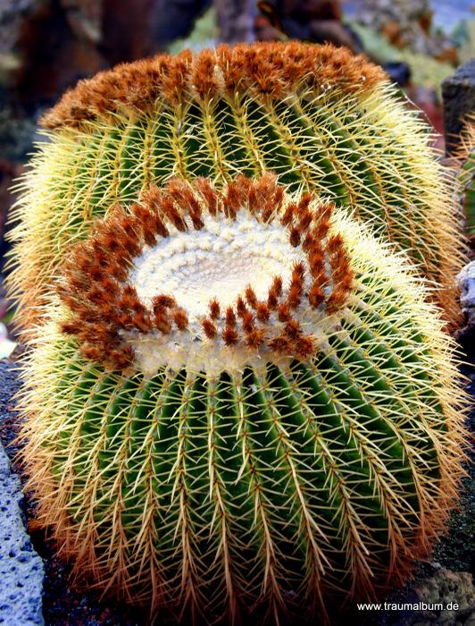 runder Kaktus