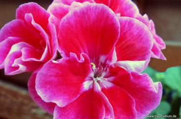 Rote Geranien und das Kreative Sonntagsrätsel #28