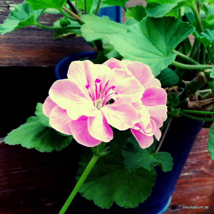 geranie rosa