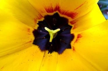 Eine gelbe Tulpe und das Kreative Sonntagsrätsel #36