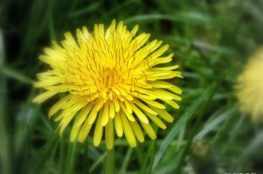 Löwenzahn im Englischen Garten – Der Farbrausch im Frühling