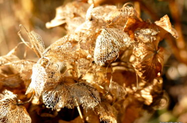 Hortensien im Winter für das allerletzte Punkt, Punkt, Punkt