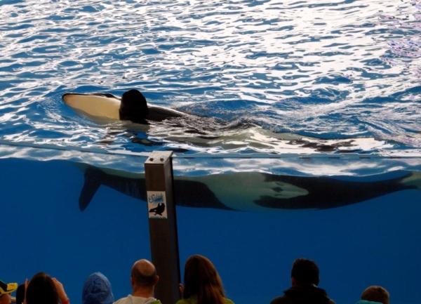 Orca auf Teneriffa Loro Parque aqua fotosammlung